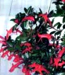 Колумнея: выращивание и уход