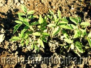Выращиваем рассаду на грядке
