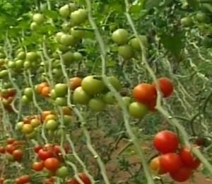 томат, помидор