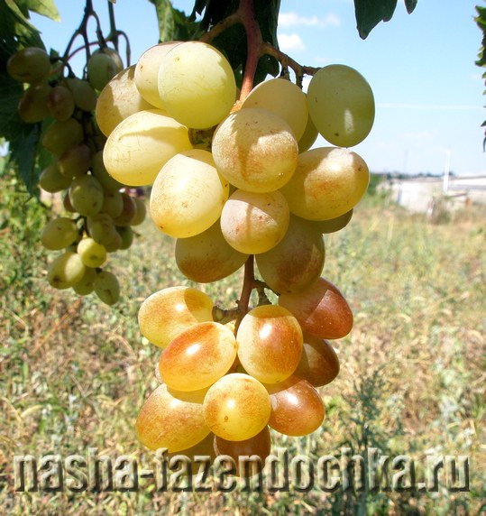Виноградник: работы в августе