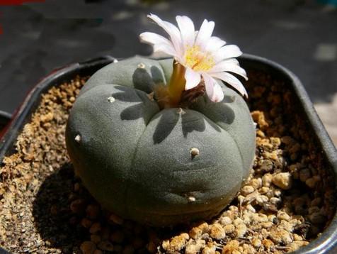 Растение лофофора