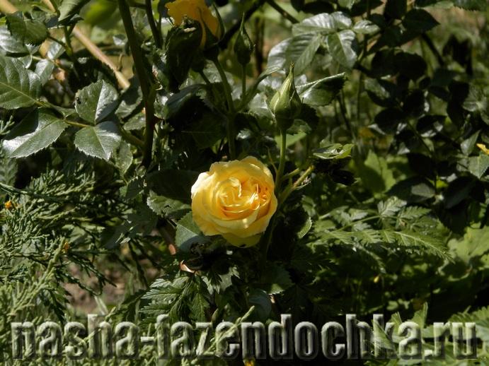 Ландшафтный дизайн: советы по созданию и обустройству розария