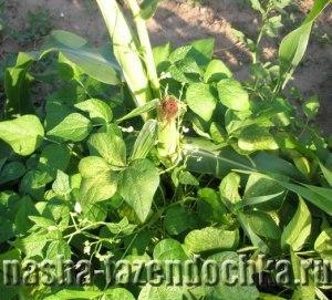 Фасоль: выращивание и уход