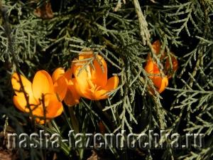 Первоцветы в ландшафтном дизайне, крокусы