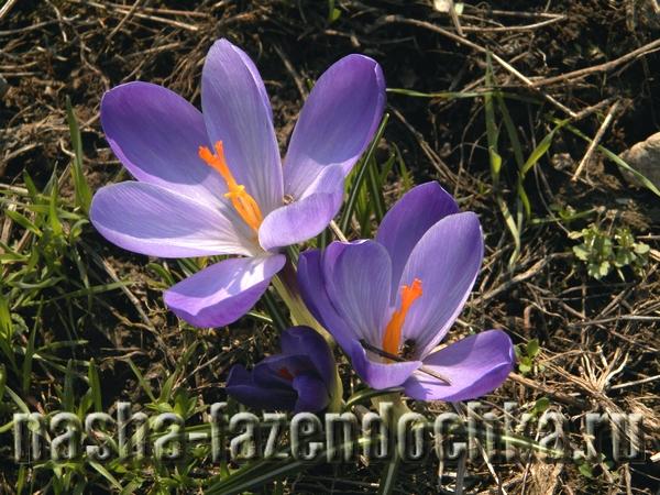 крокусы,Лунный календарь огородника и садовода на апрель 2015г