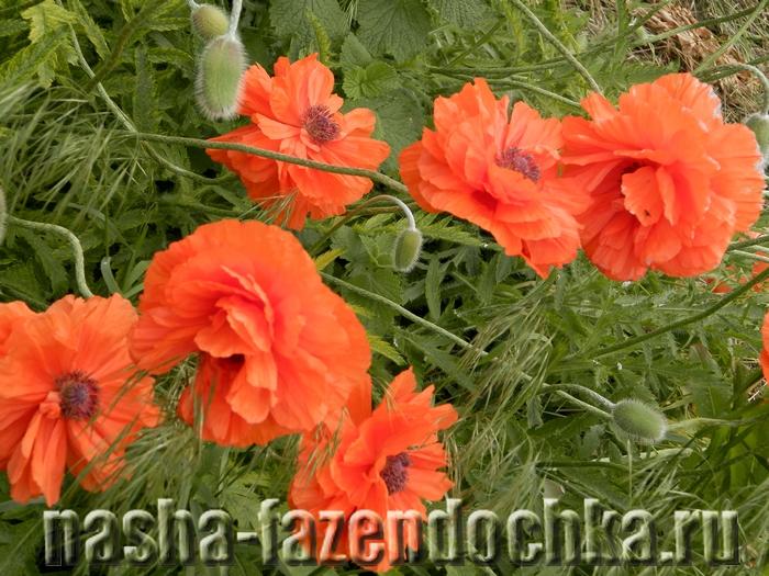 мак, семена цветов