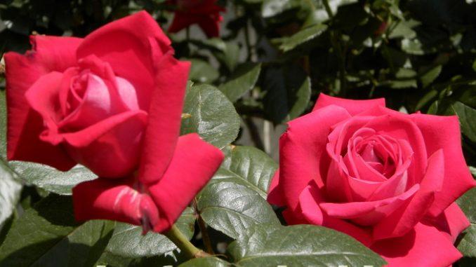 роза. черенкование